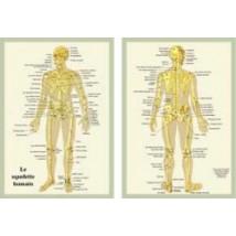 planche-squelette-humain